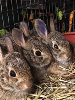 Orphaned cottontail rabbits receive care in our medical clinic. Orphaned babies stay in sanctuary with us until they are old enough to be released back into the wild.