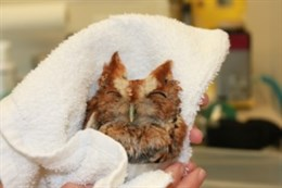 An injured Eastern Screech Owl receives medical care at the Center