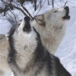 Residents Isabeau and Nashoba howling in the snow at W.O.L.F. Sanctuary.