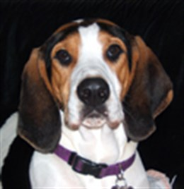 Purple Puppy, Treeing Walker Coonhound