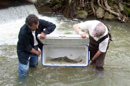 A steelhead is released to continue its migration